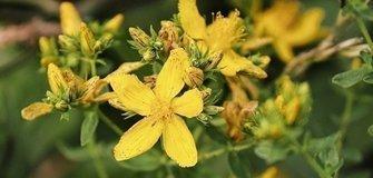 Wirkung, Anwendung und Bedeutung von Heilpflanzen