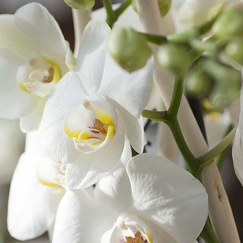 Orchidee Rizzi